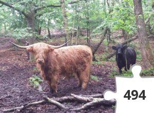 Jigsaw puzzle - Highland Cattle