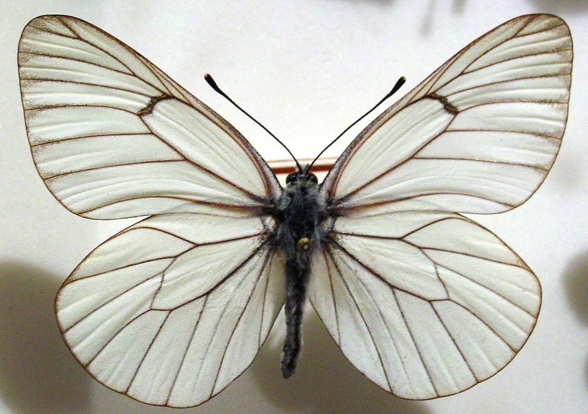 Hagtornsfjäril